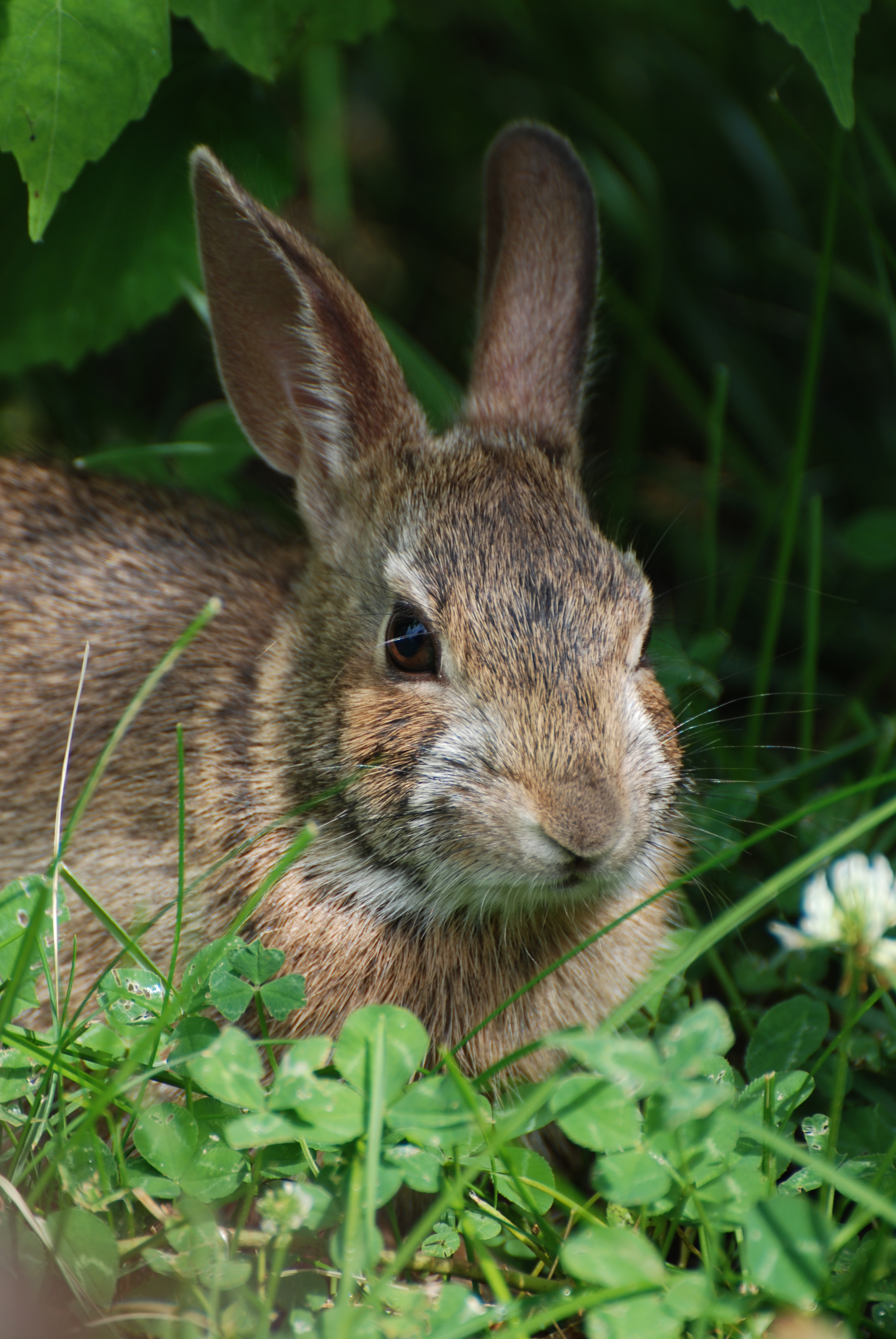 Eastern Cottontail. Photo by Jeff Moser and Jeanette Dillon.