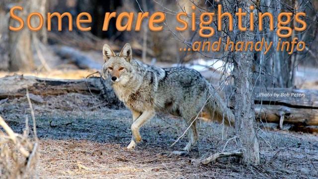 Coyote sightings
